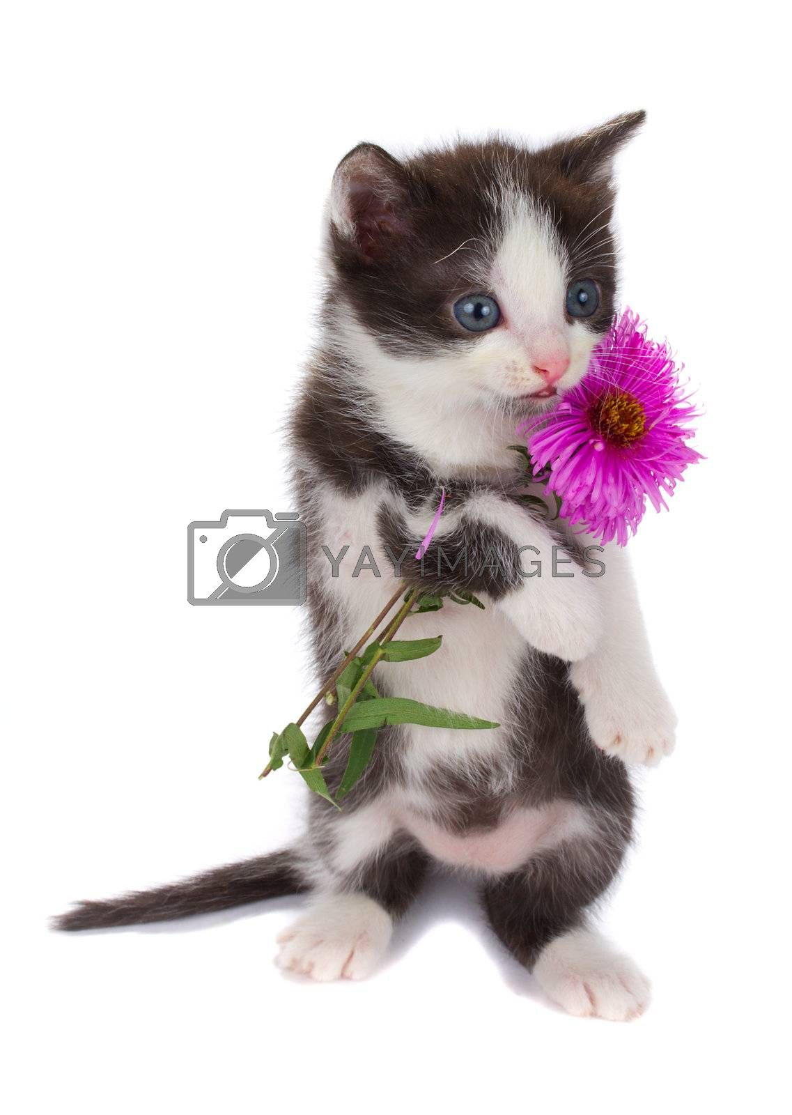 kitten hold flowers, isolated on white