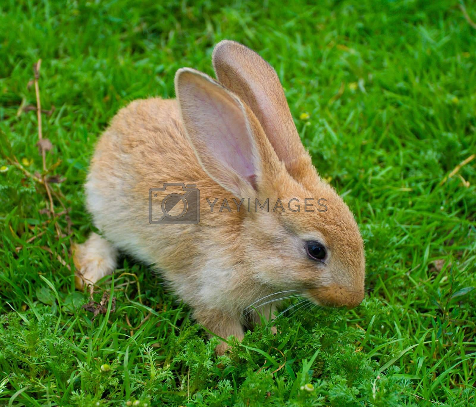little brown bunny on green grass