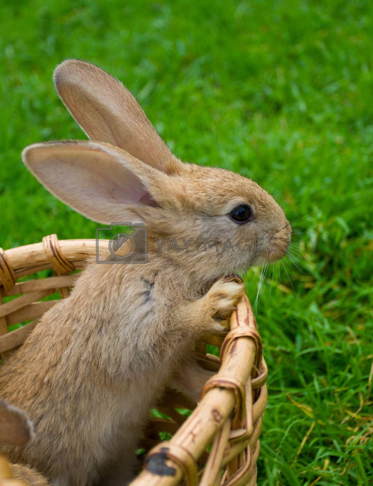 small bunny stand in basket on green grass background