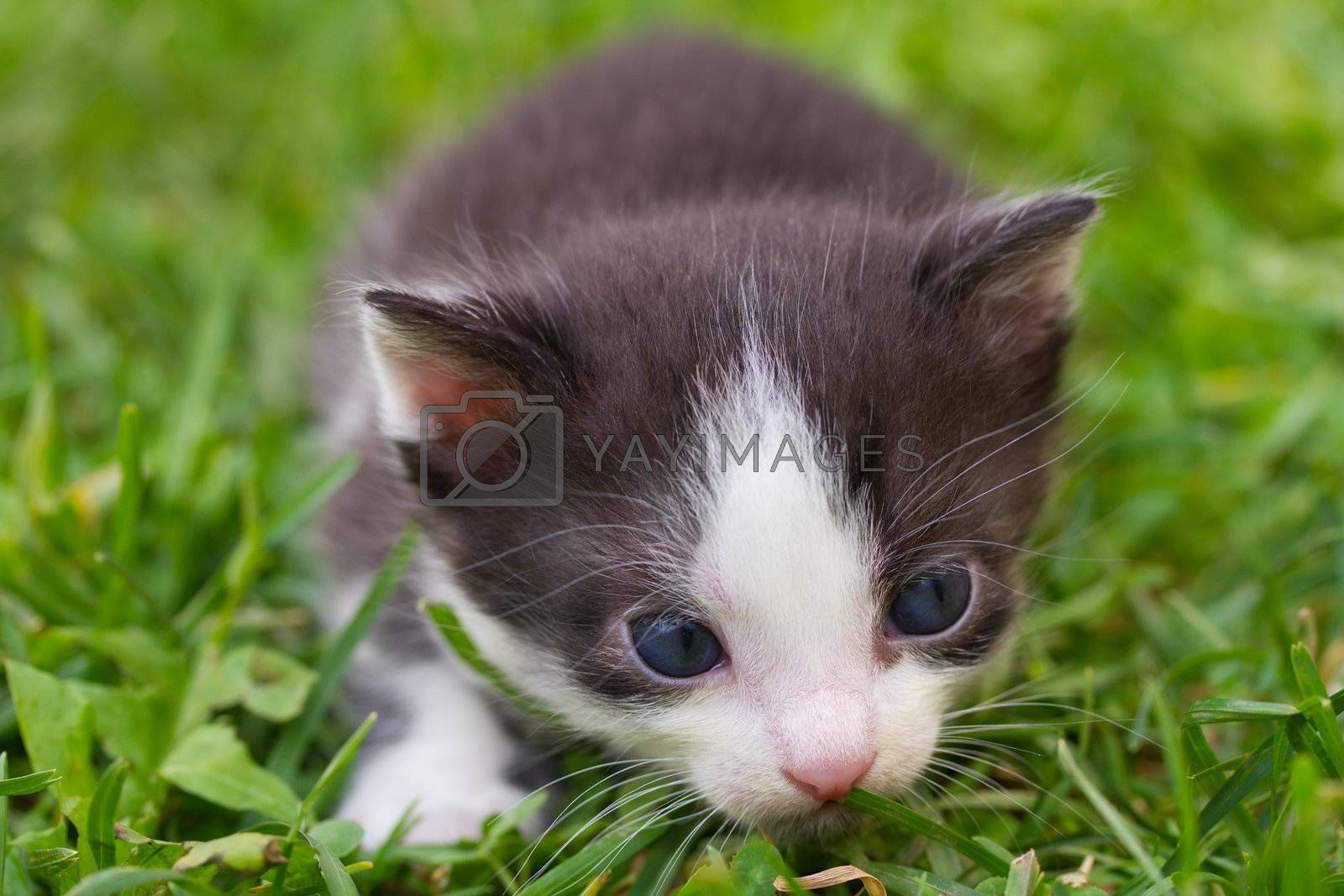 close-up black and white kitten in grass