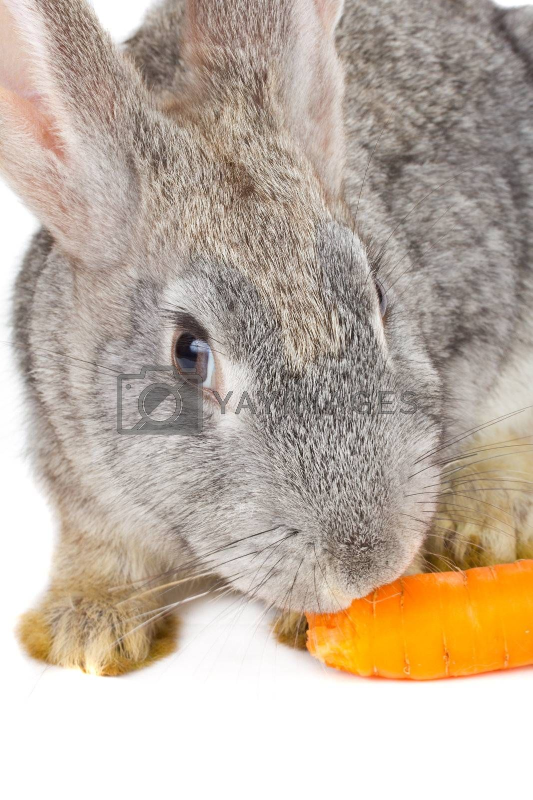 close-up rabbit eating carrot, isolated on white