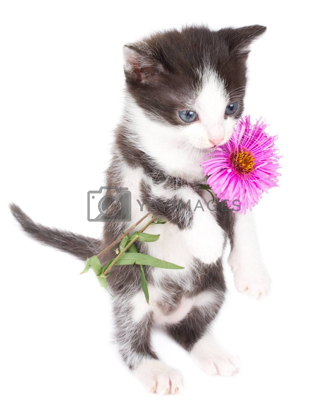 kitten stand and hold flowers, isolated on white