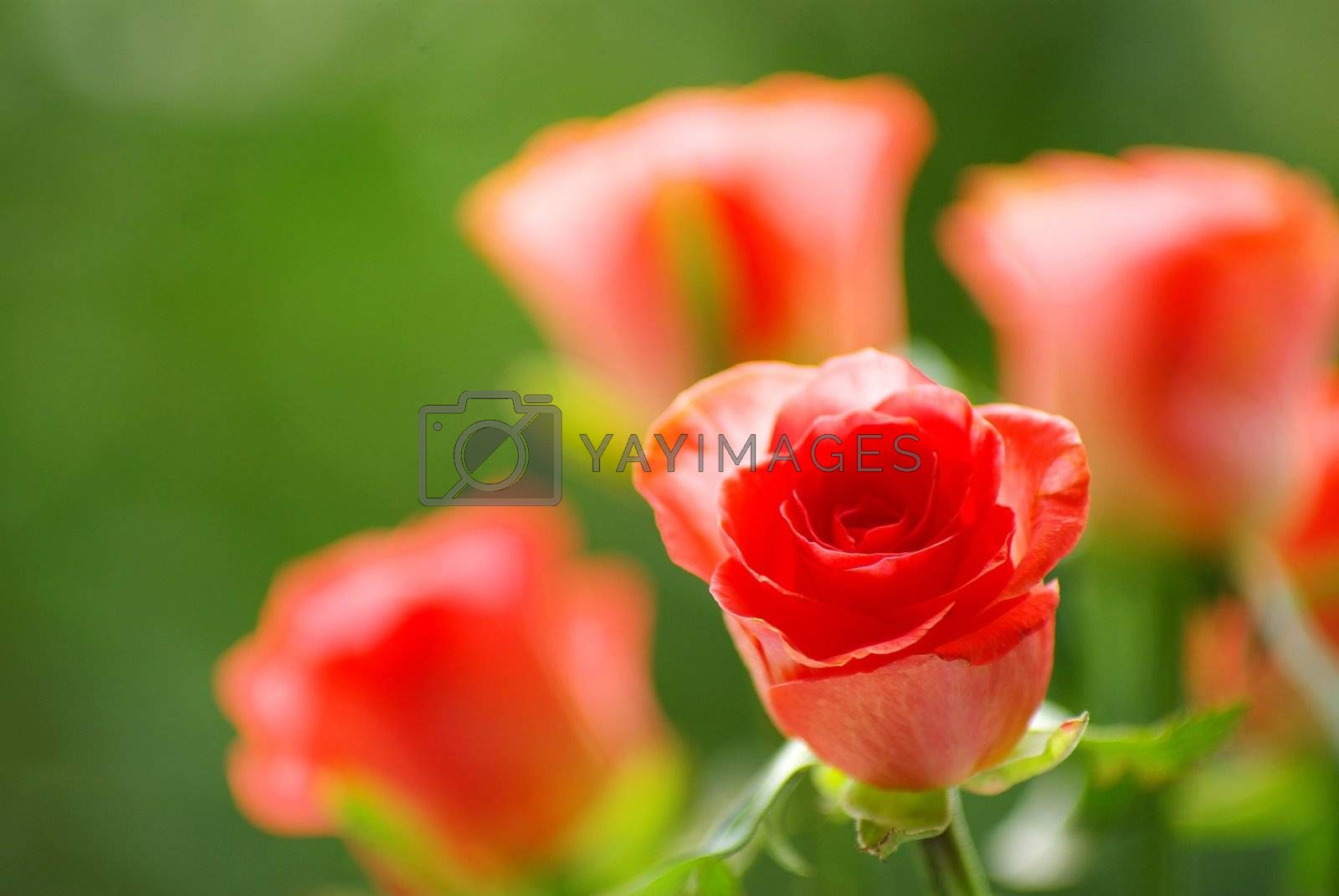 red rose on a green background