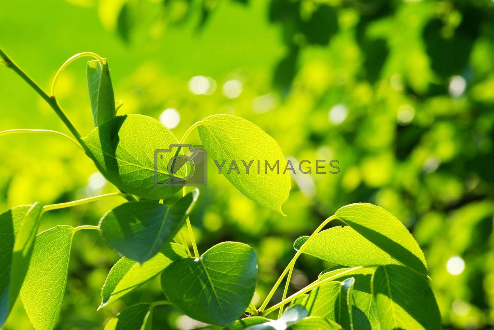 green leaves background in a sunny day