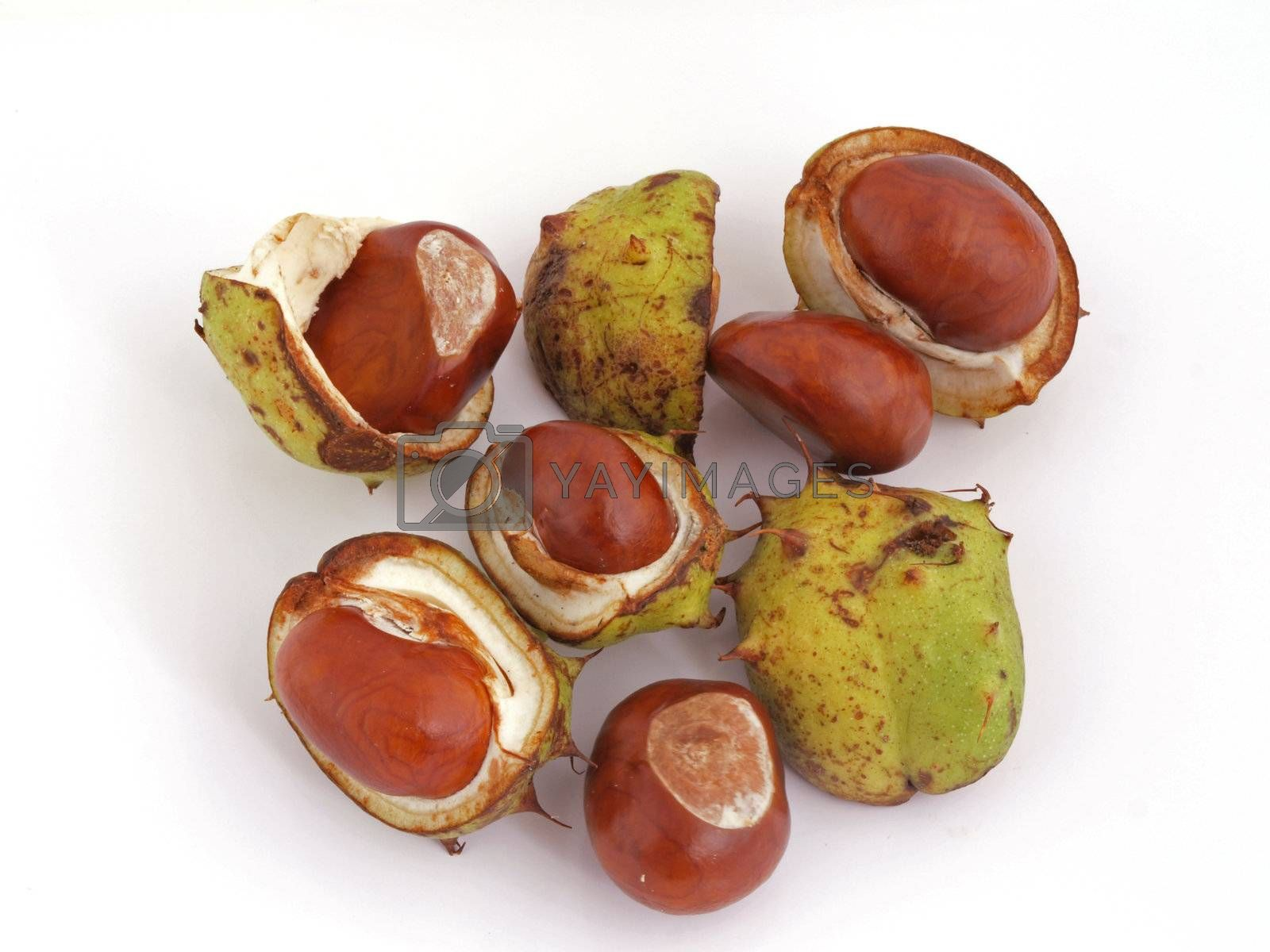Royalty free image of Conker or Horse Chestnut by ianlangley