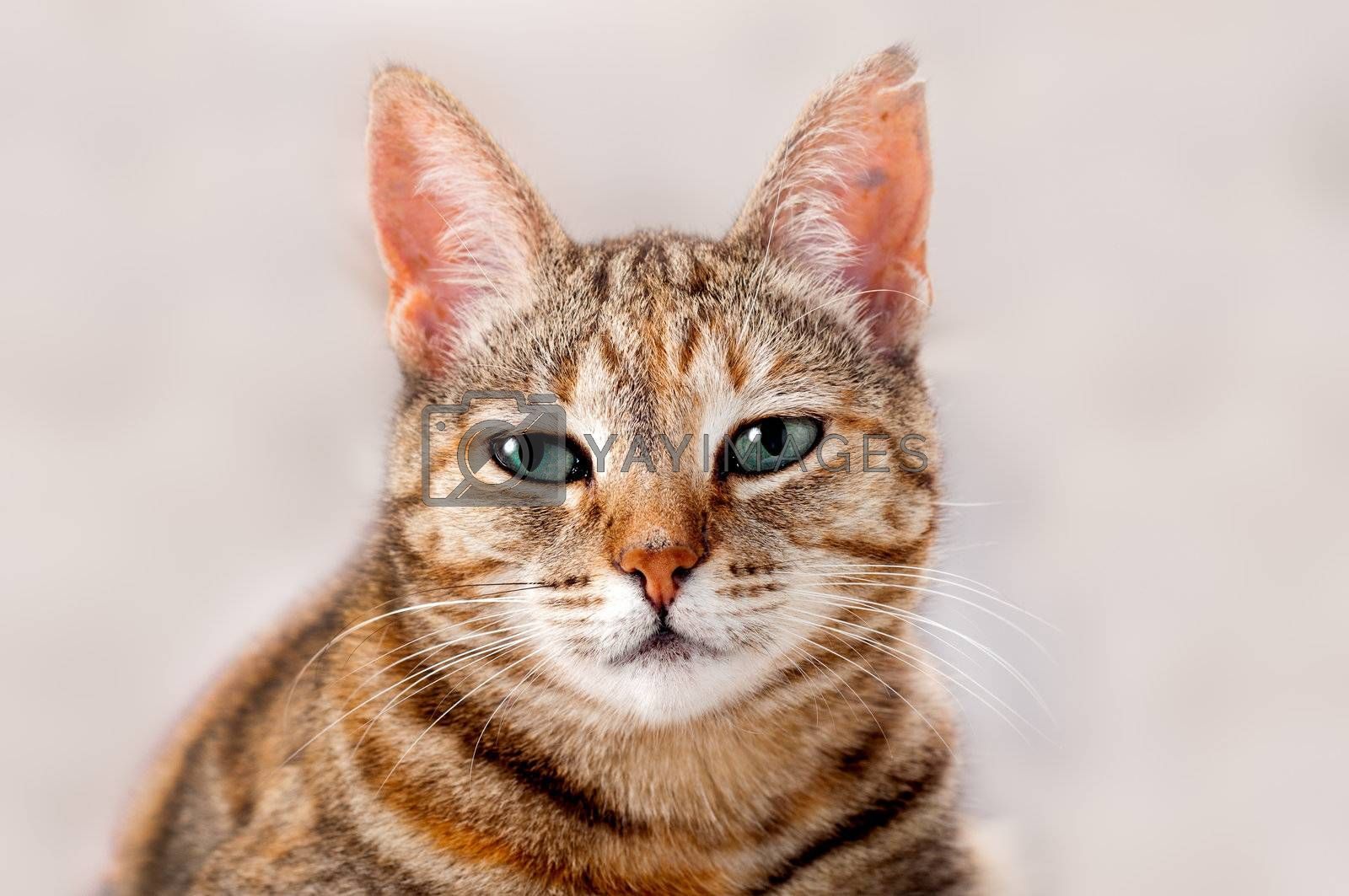 Alert young female tabby cat