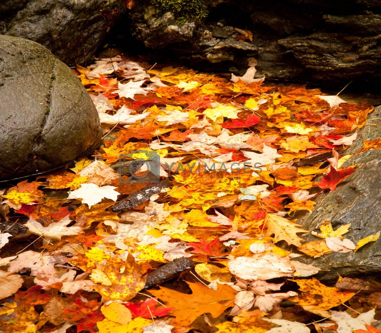 Royalty free image of Fall leaves in river by steheap