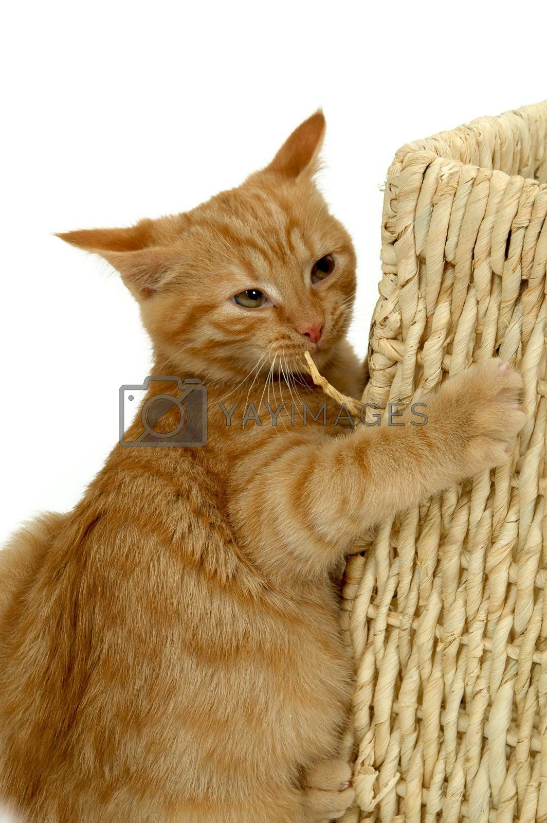 Royalty free image of Foolish kitten by cfoto