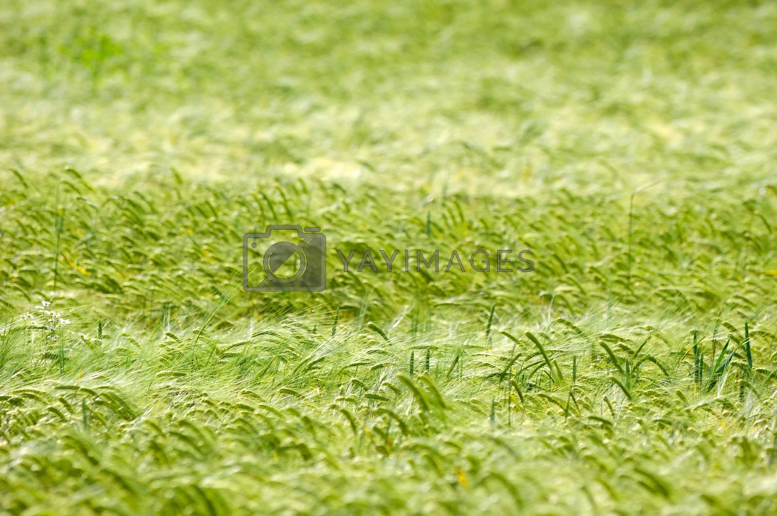 Royalty free image of Corn pattern by cfoto