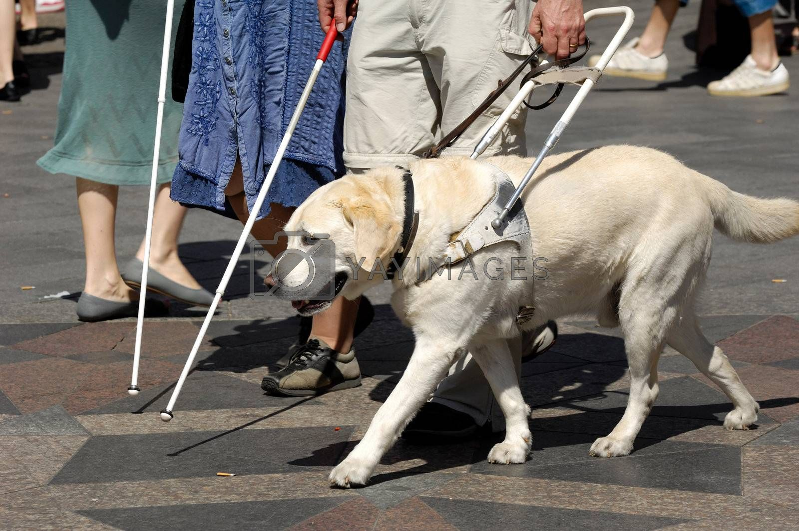 Royalty free image of Guide dog by cfoto