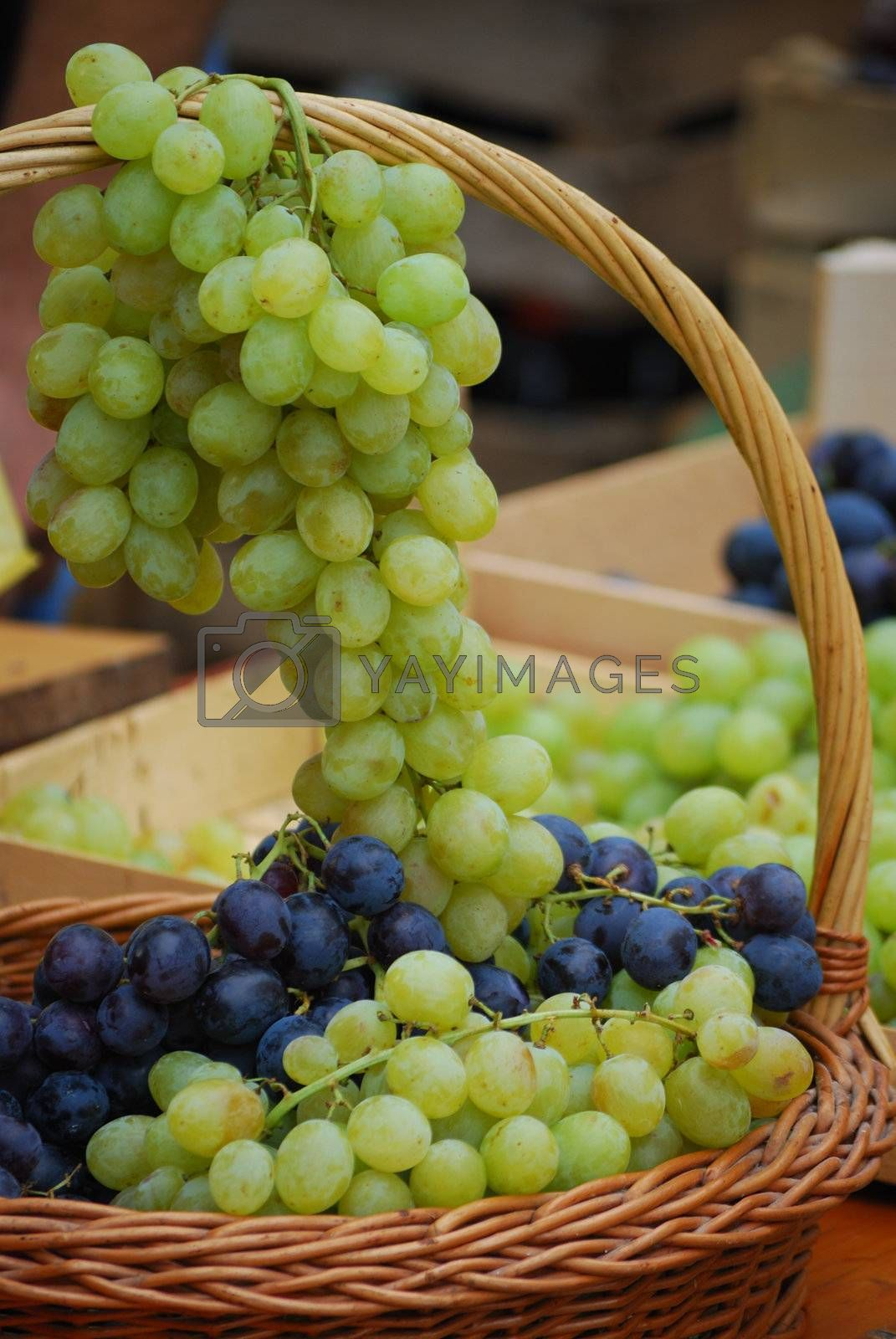 Royalty free image of Wine grapes in basket by zagart36
