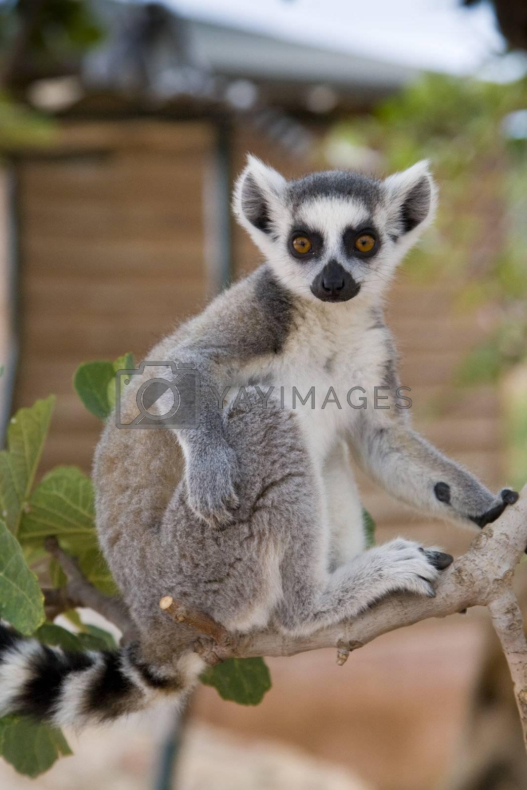 Ring-tailed Lemur (Lemur Catta) Portrait, Athens Zoo Park, Greece