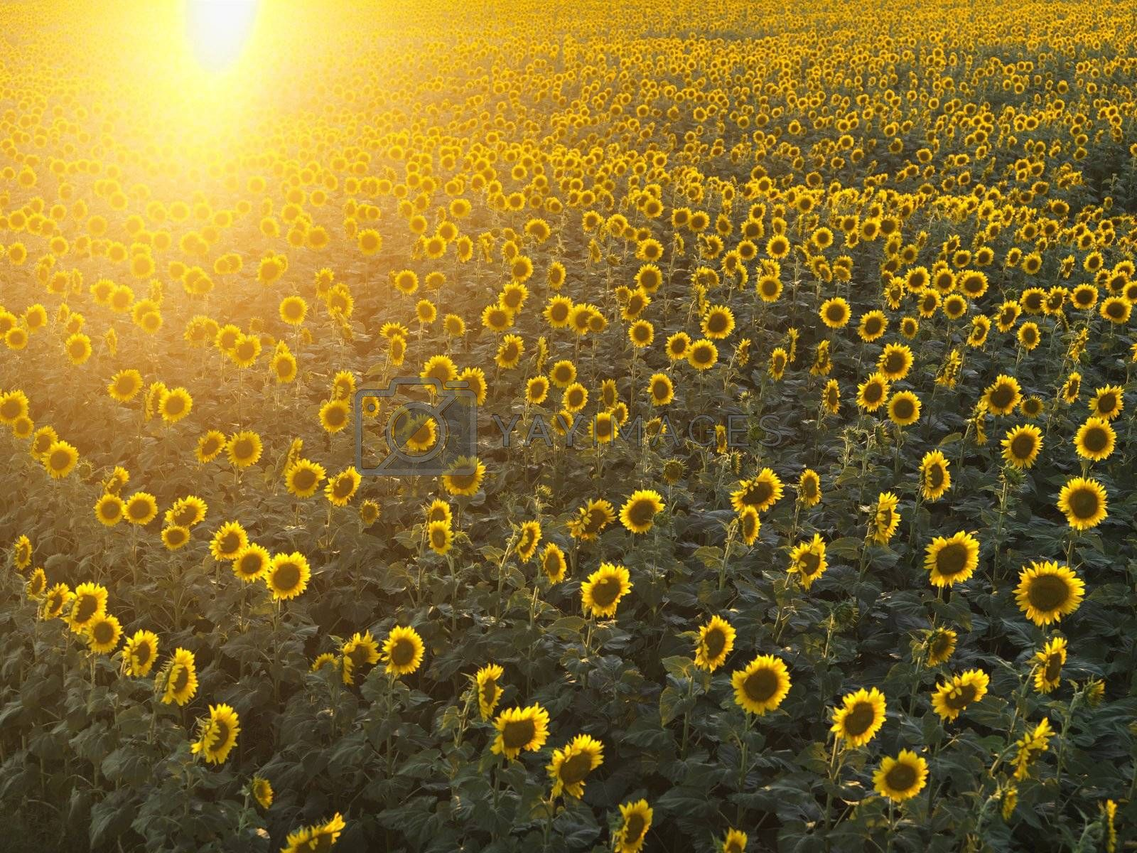 Field of sunflowers with sunshine.