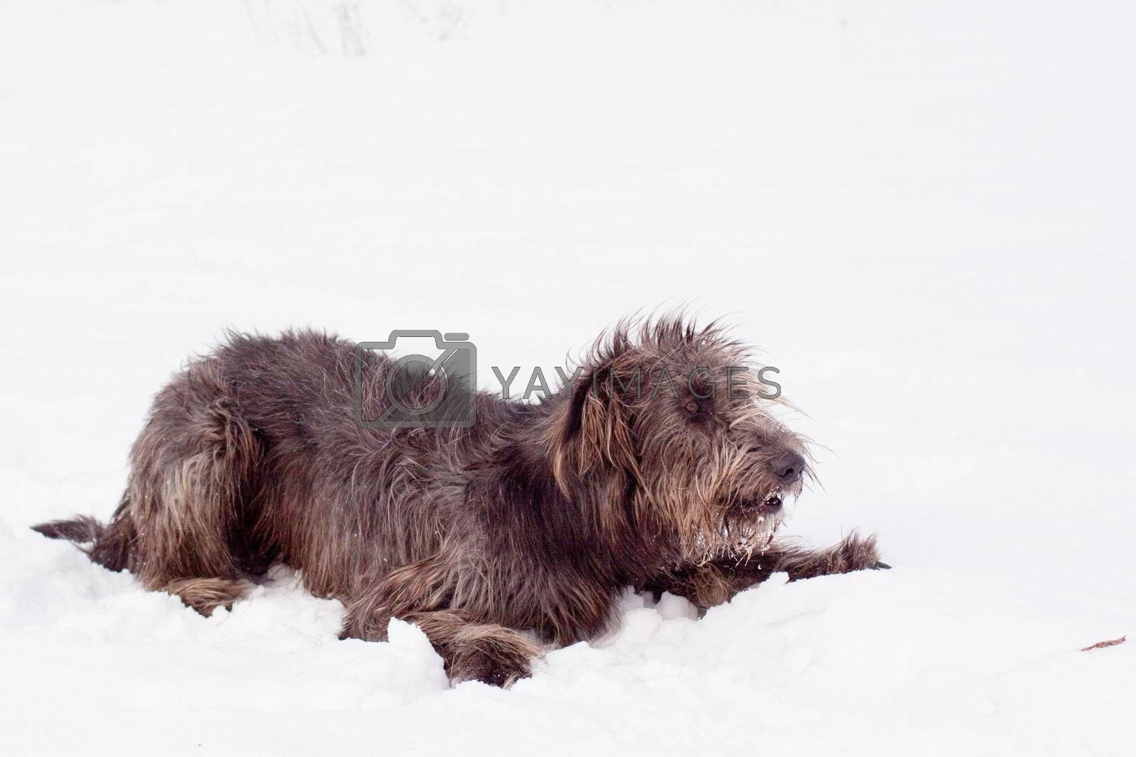 An irish wolfhound lying on a snow-covered field
