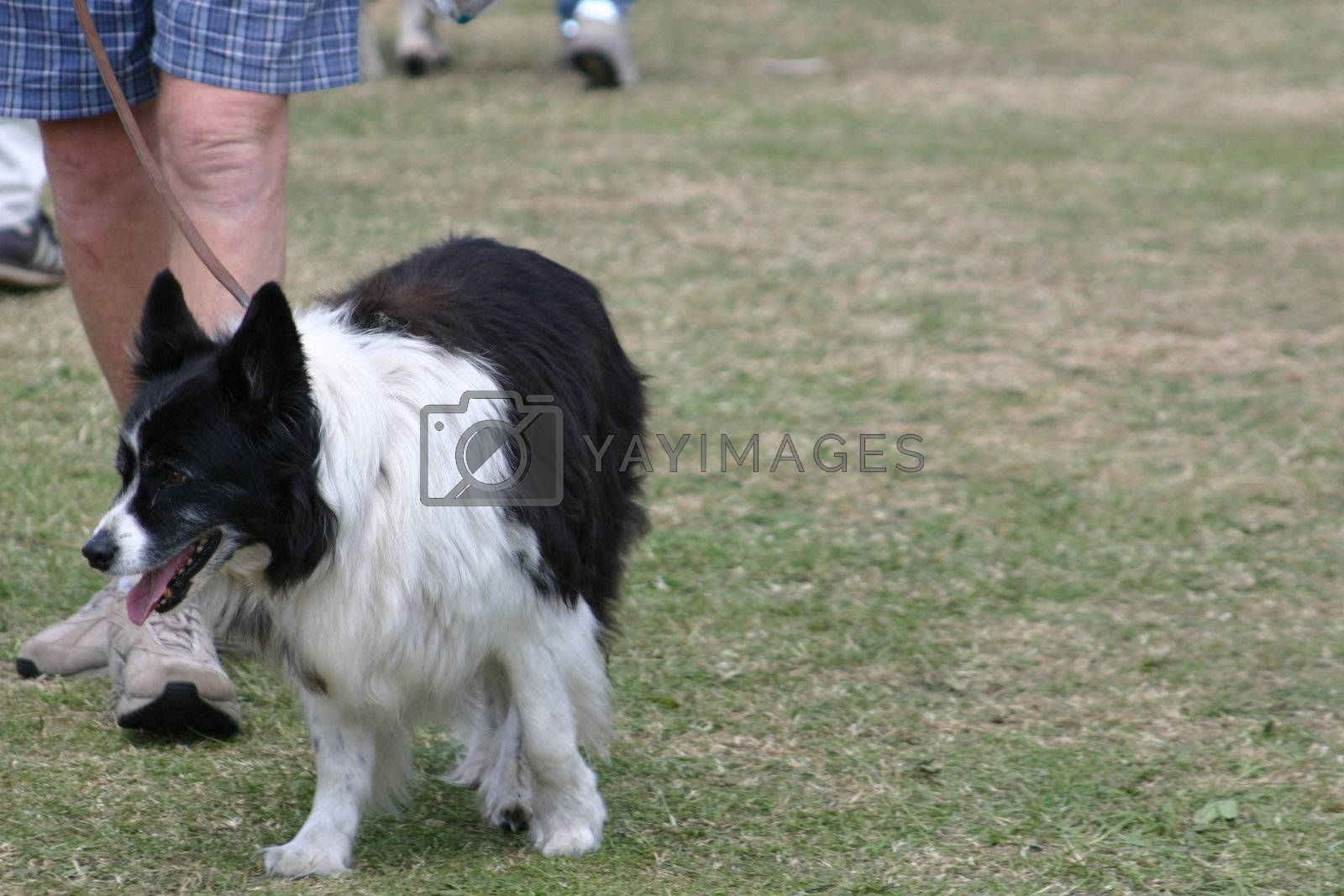 collie dog walking along with its master with copy space to the right