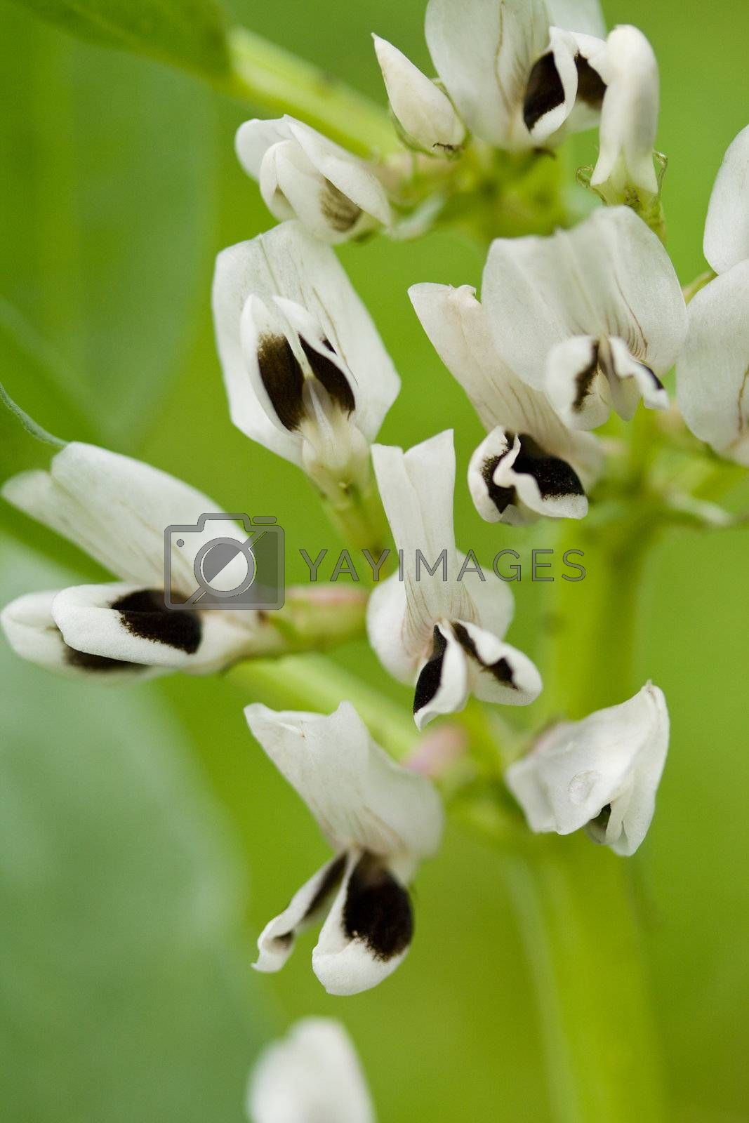 close-up white black flowers on green background
