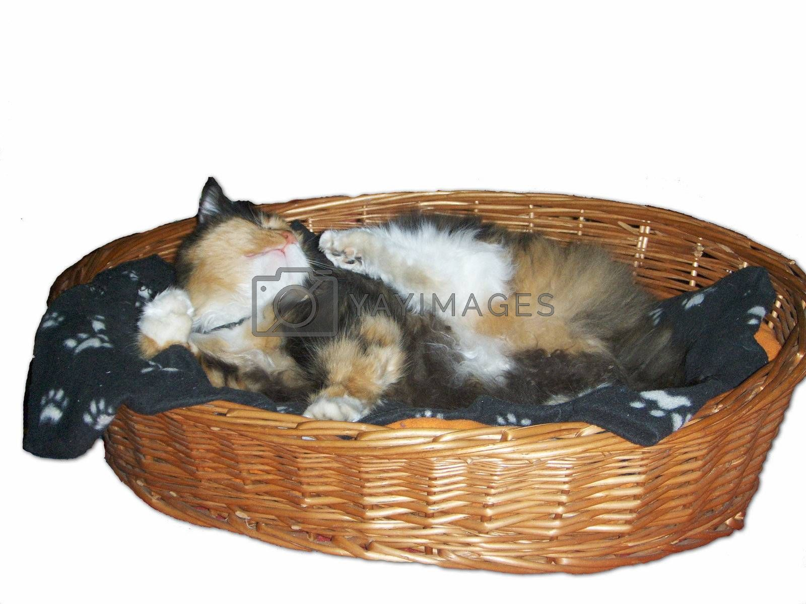 Cat itching in a cat basket