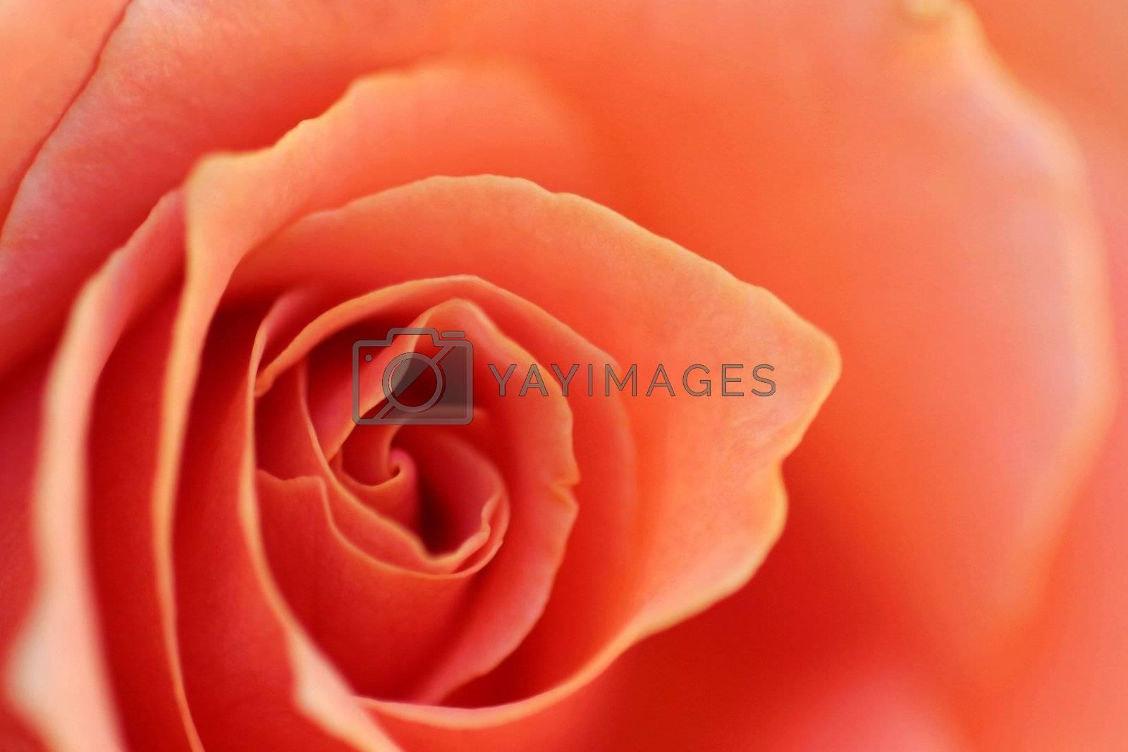 Soft Rose Petals (2754) by hlehnerer