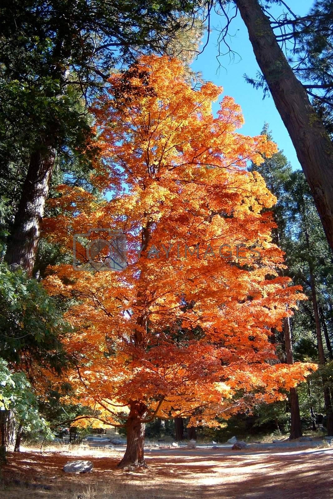 Autumn Tree by hlehnerer