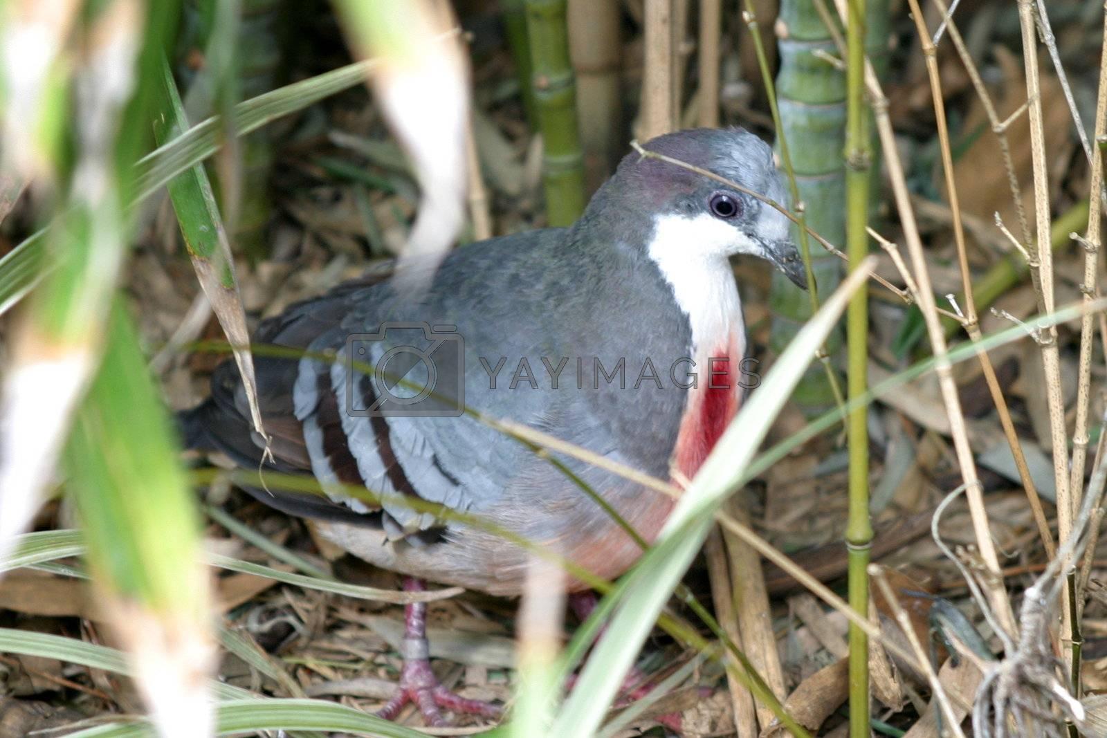 Bleeding Heart Pigeon (4883) by hlehnerer