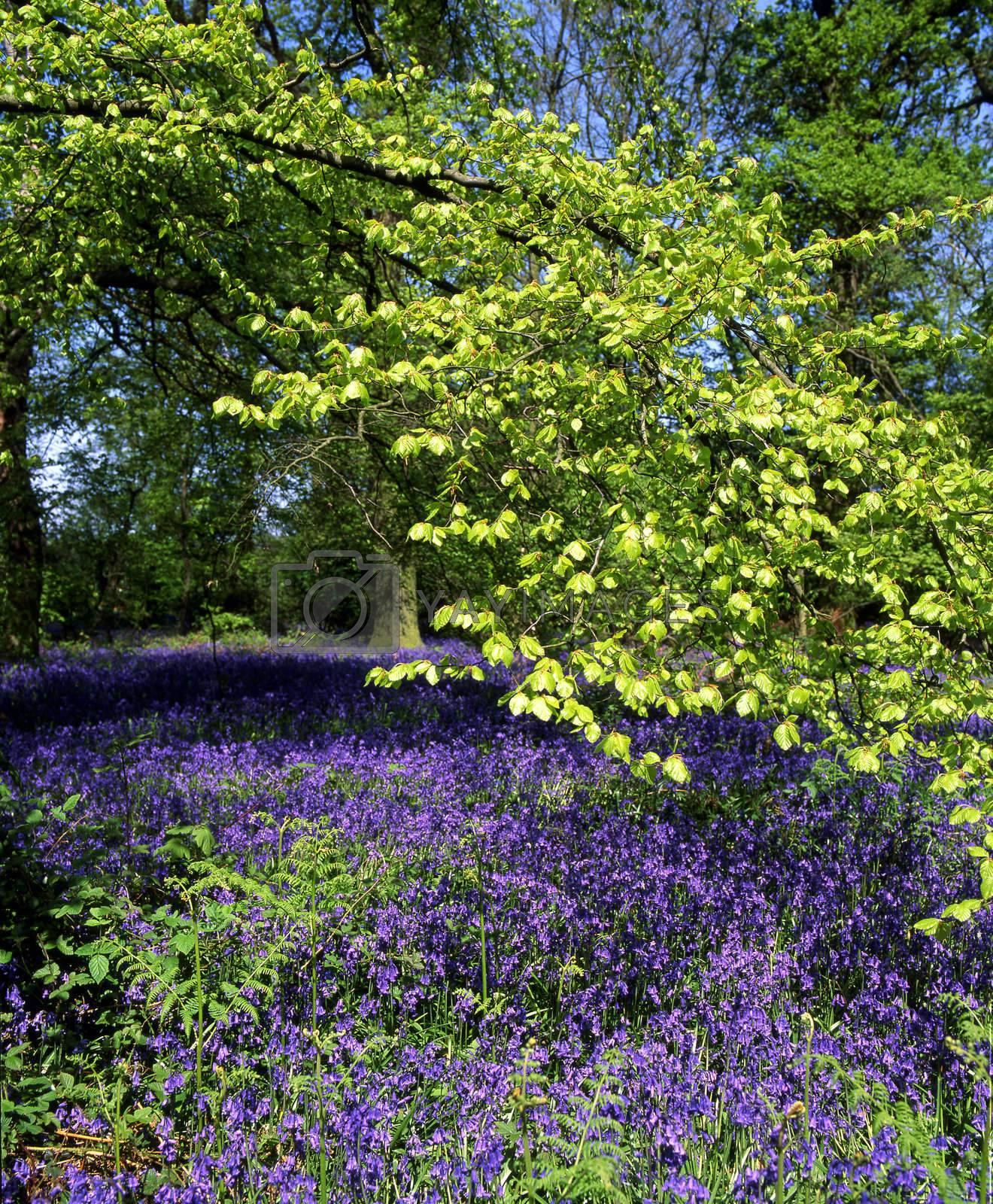 Bluebell Wood by runamock