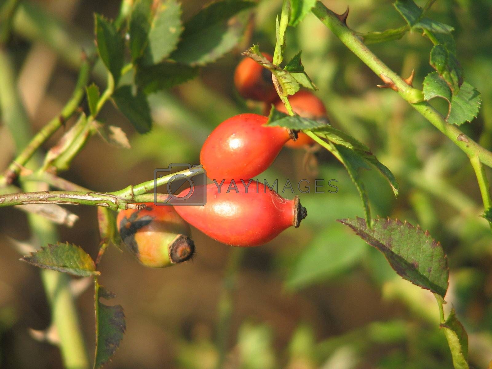 Rosehips by brigg