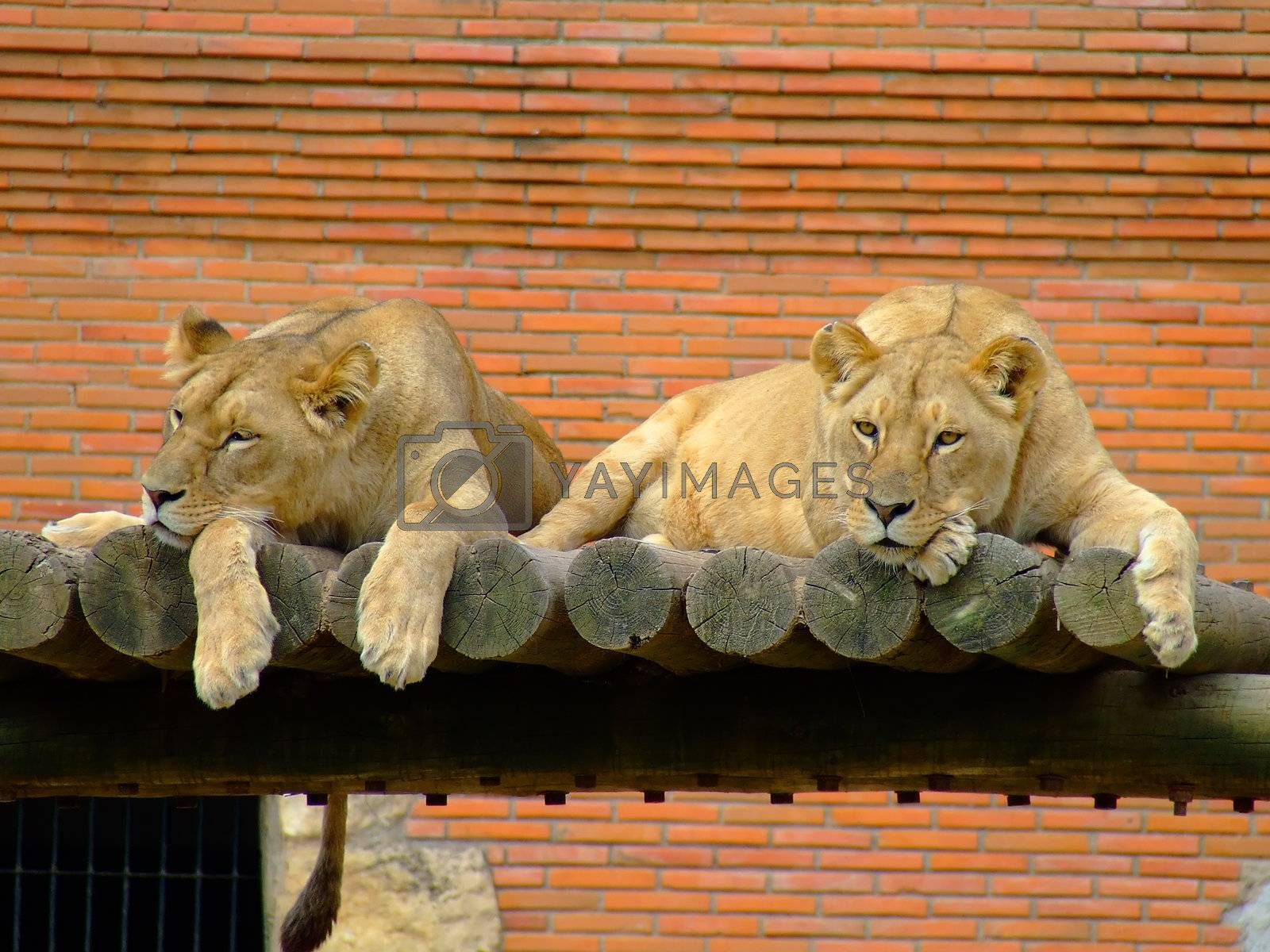 Two female lions by PauloResende