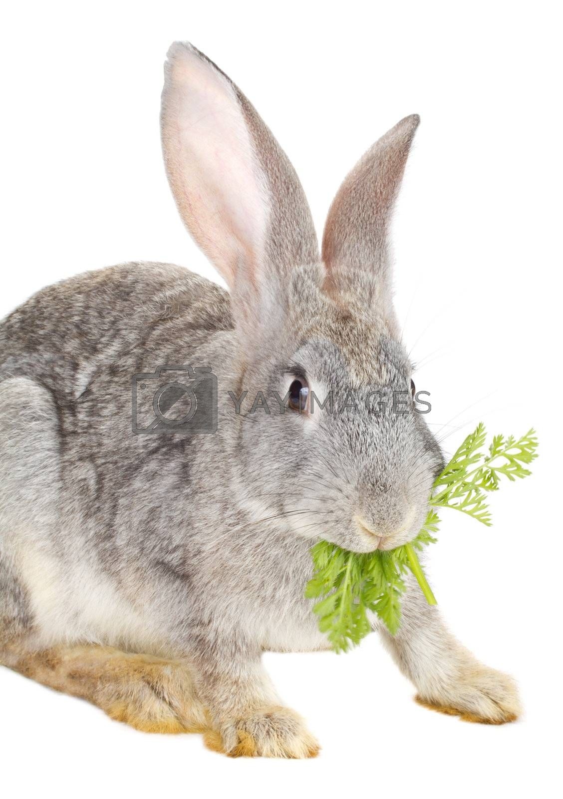 close-up rabbit eating carrot leaf, isolated on white