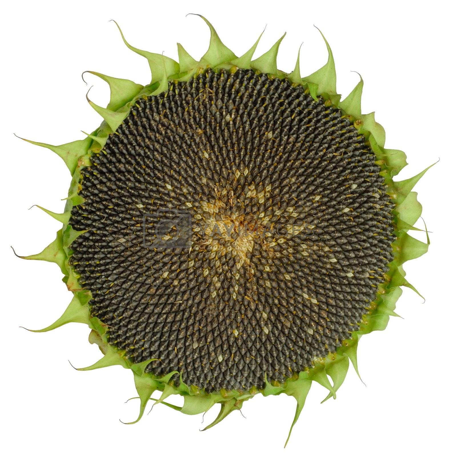 Isolated sunflower