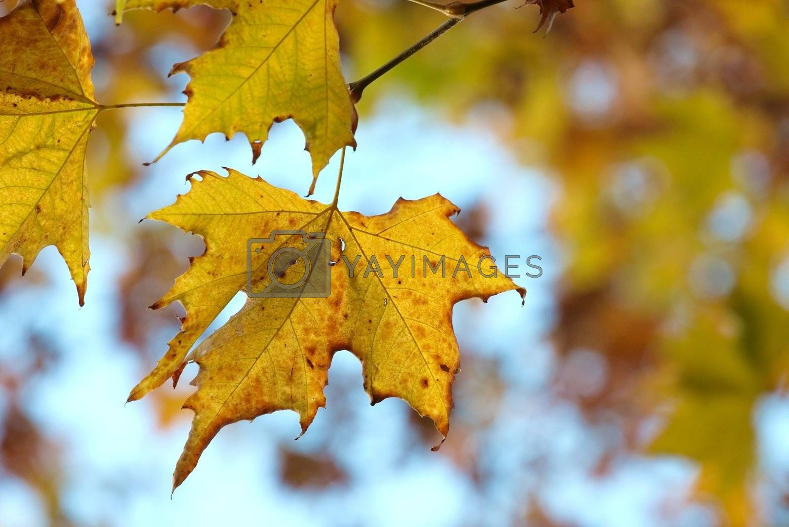 Colorful leaves of a tree in autumn