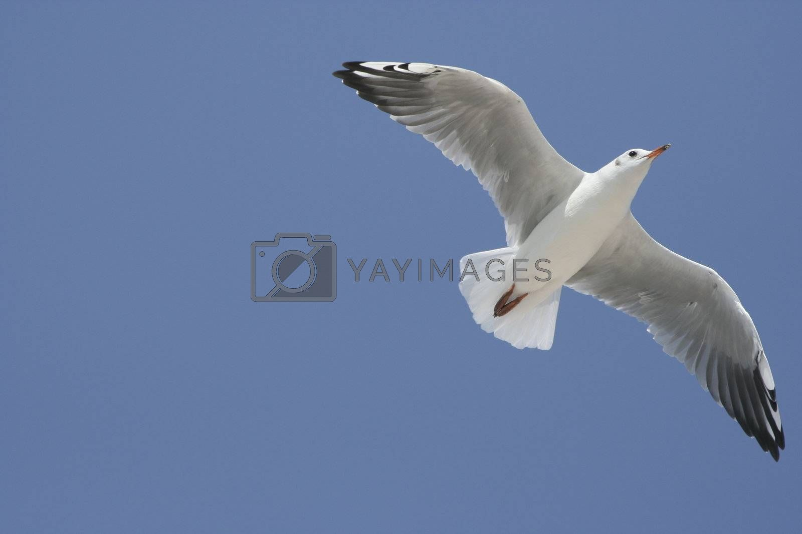 Flying seagull against a blue sky on a sunny summer day