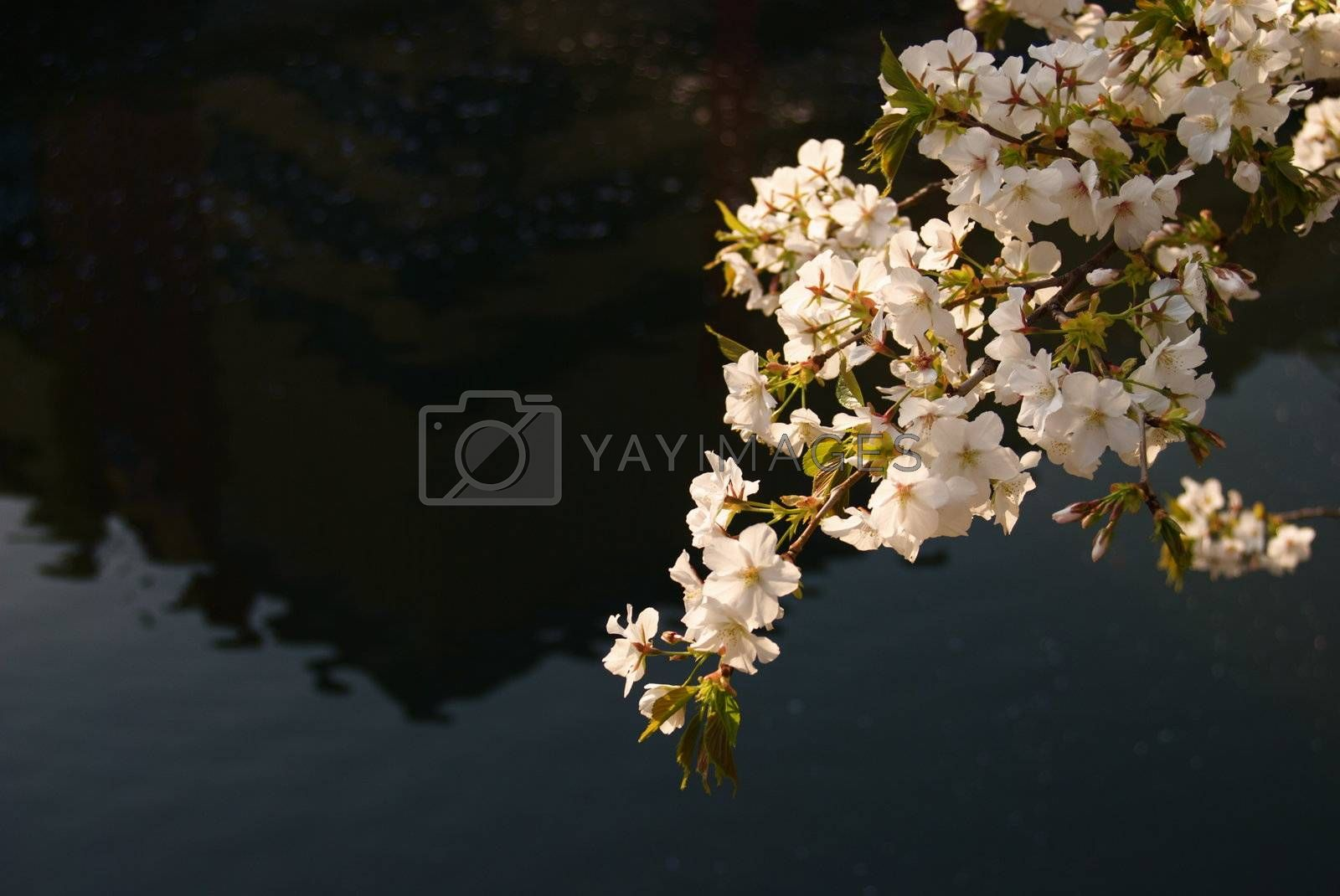 Late Cherry Blossom hangs over dark water.
