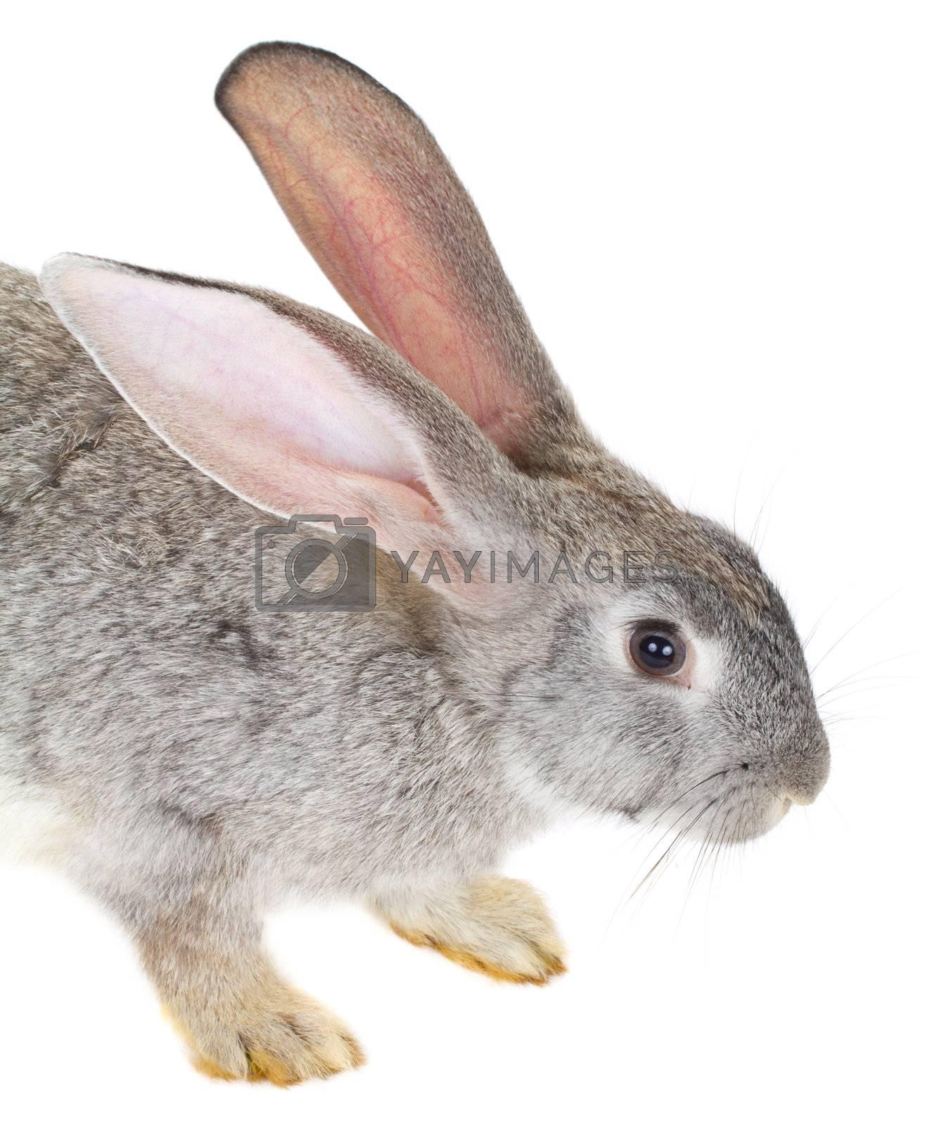 close-up rabbit, isolated on white