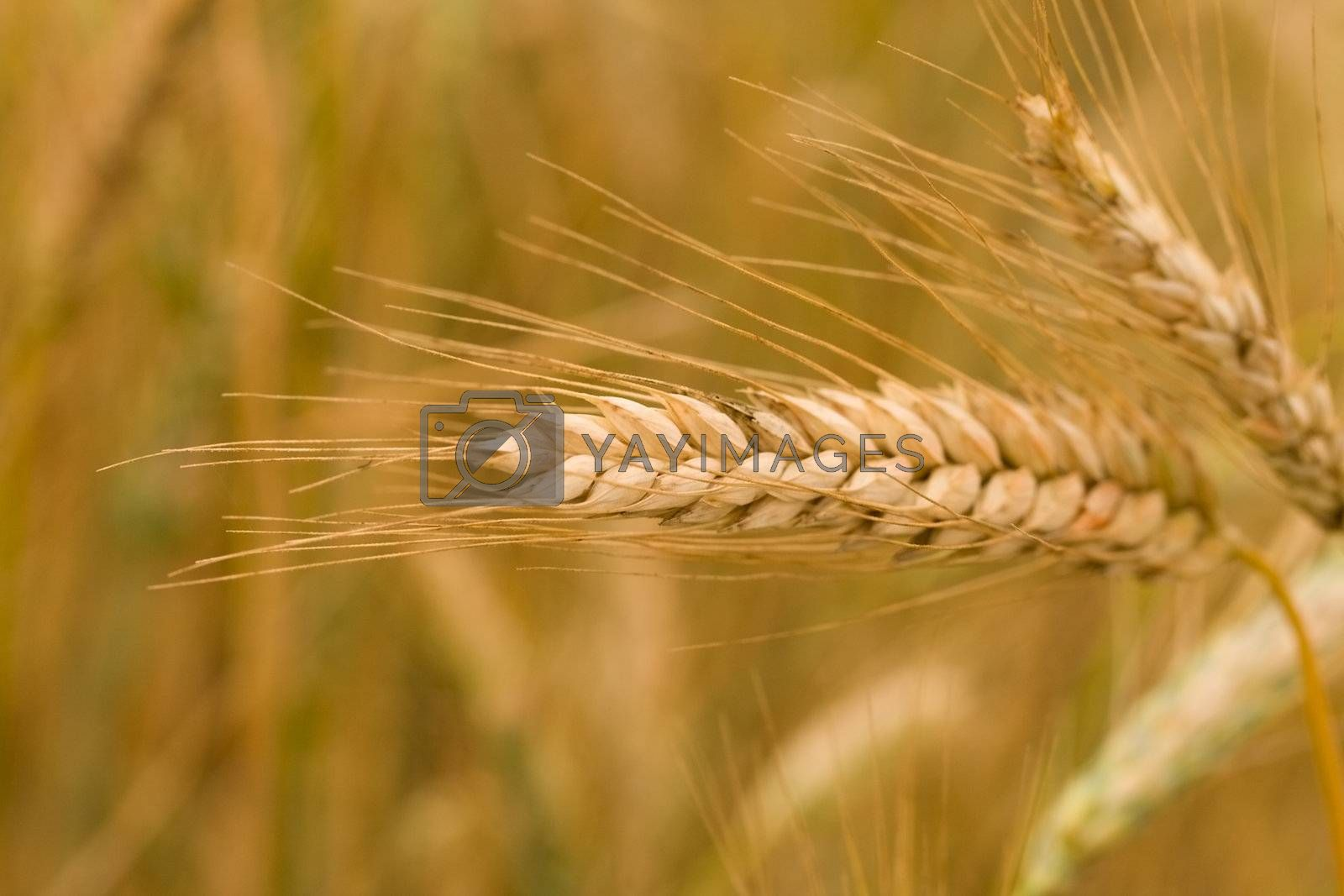 close-up ripe ear of wheat, selective focus