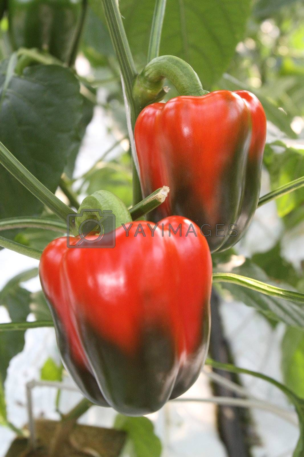 Green and red peppers growing in a garden