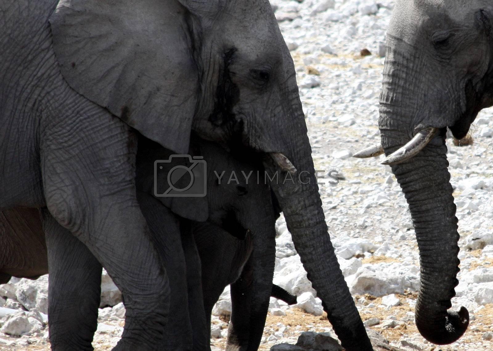 Elephants: mother and son, Namibia, Etosha Park