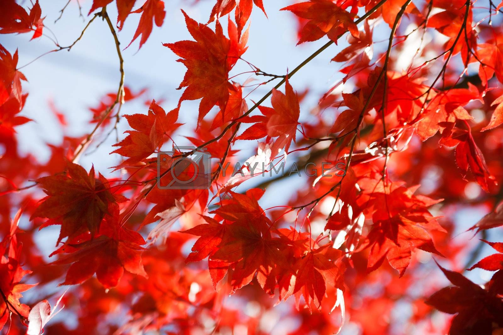 autumnal red leaves against the blue sky