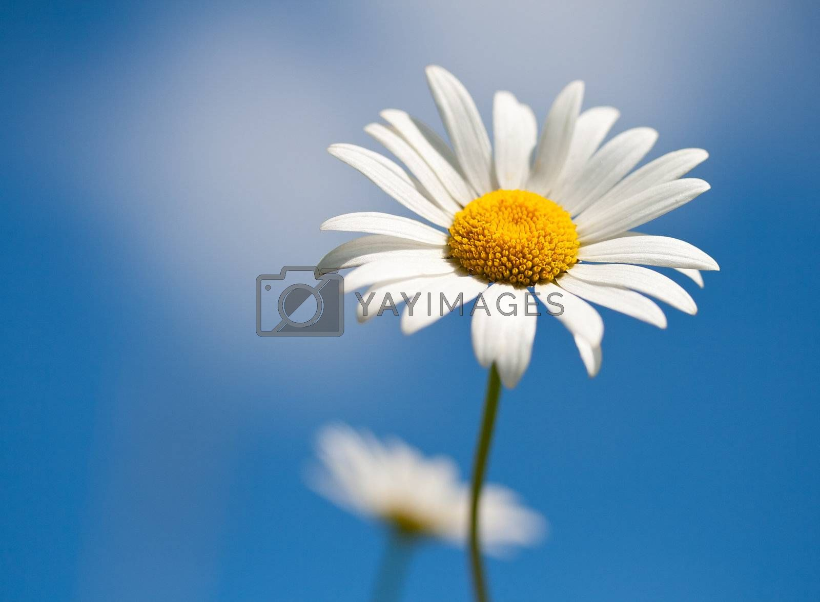 chamomile on blue sky background, selective focus