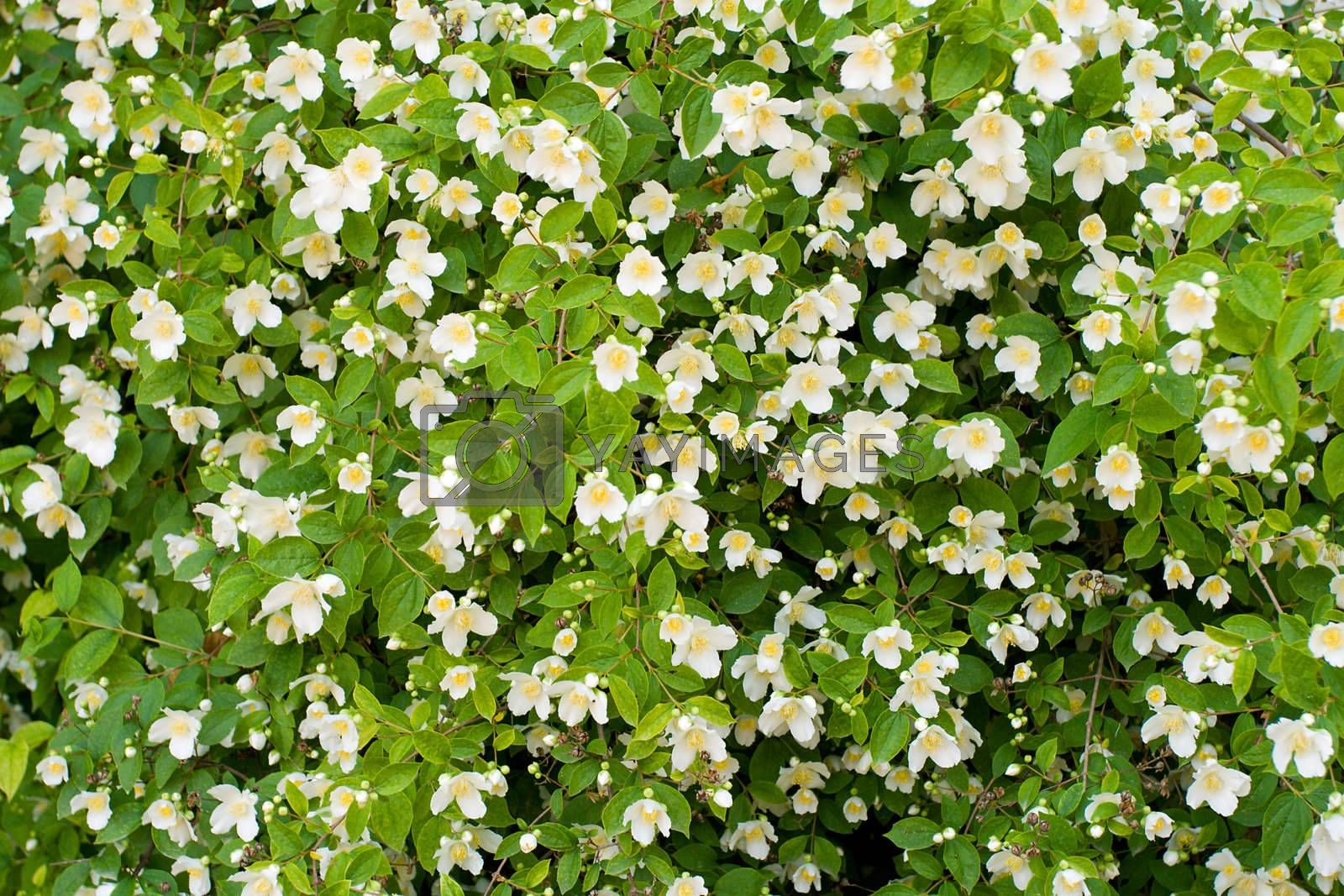 jasmine bush background