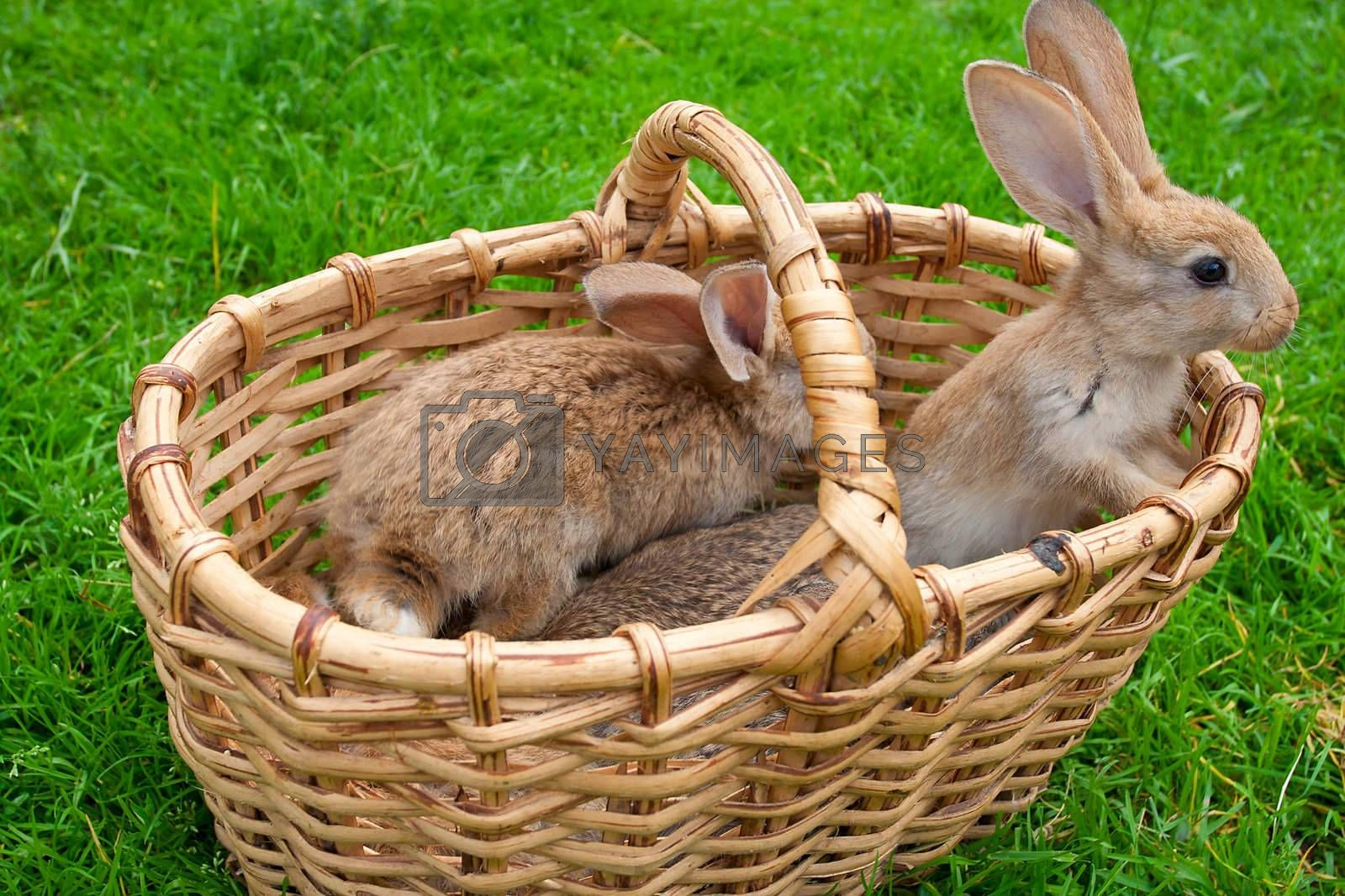 small bunnies in basket on green grass background