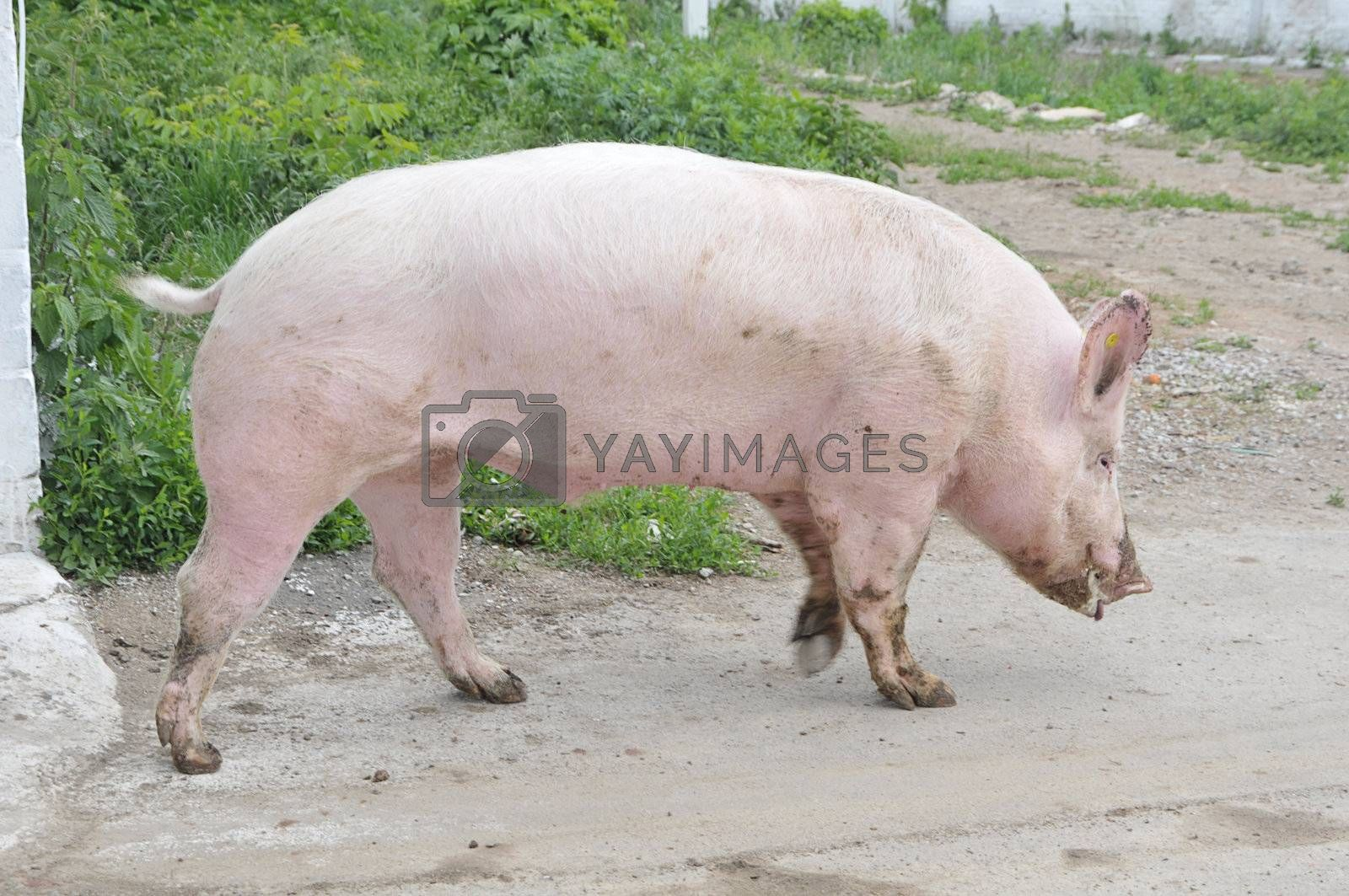 Male hog of breeds Great White on the walk