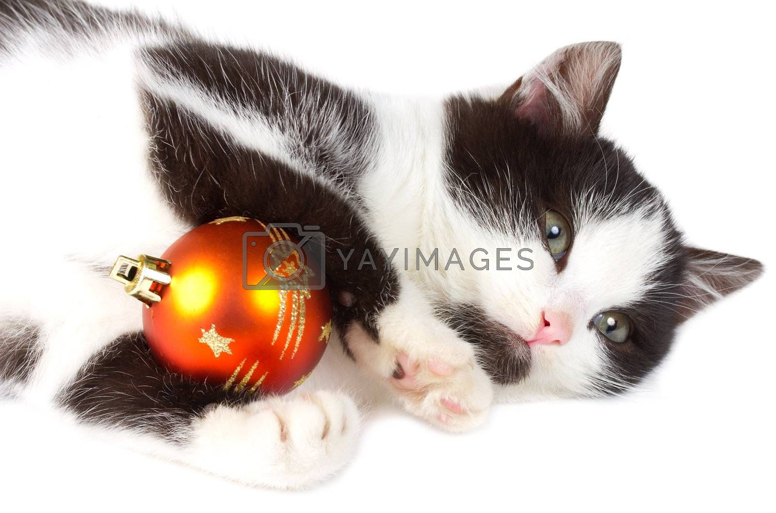 close-up kitten playing with christmas decoration, isolated on white
