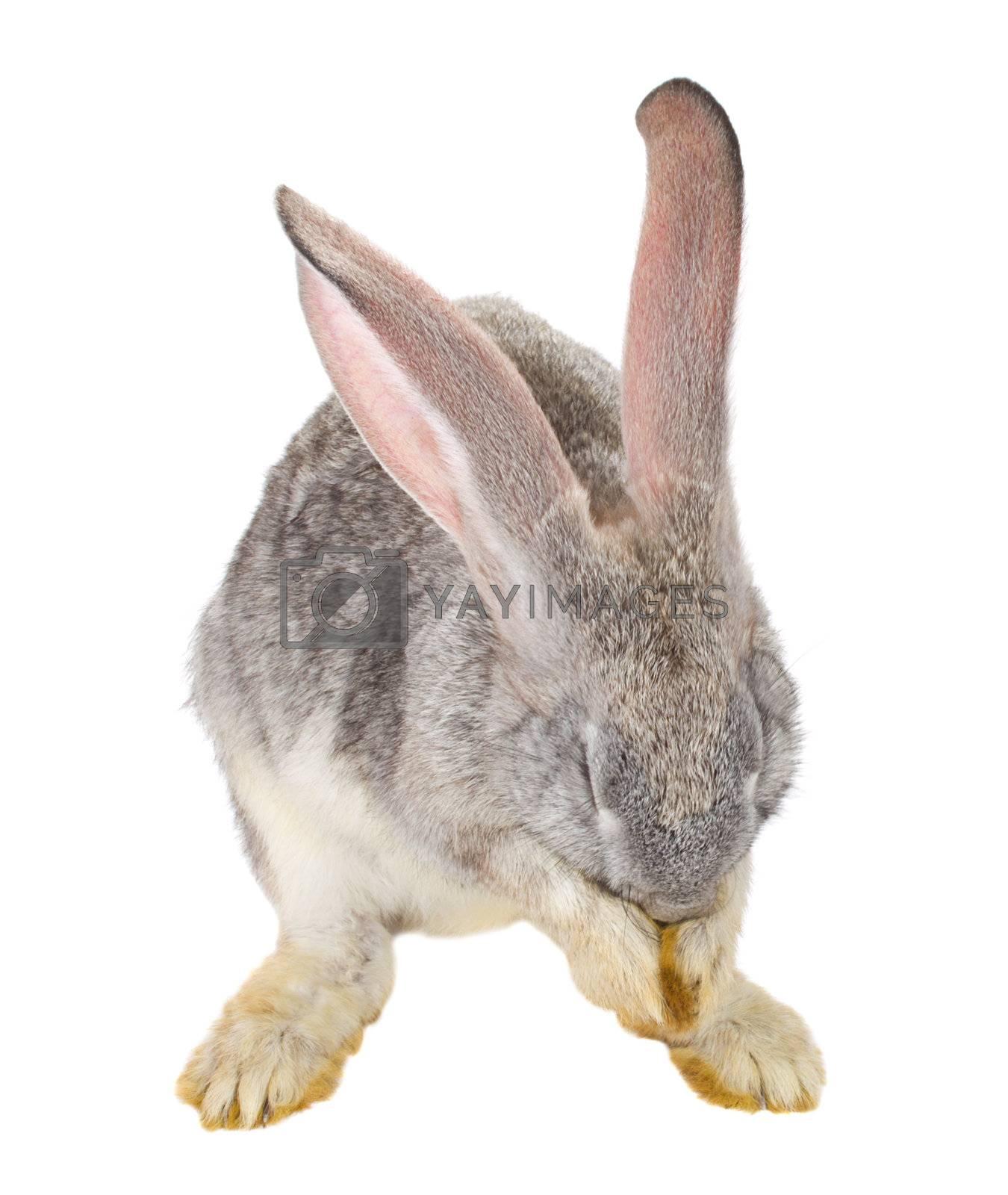 rabbit hiding his muzzle, isolated on white