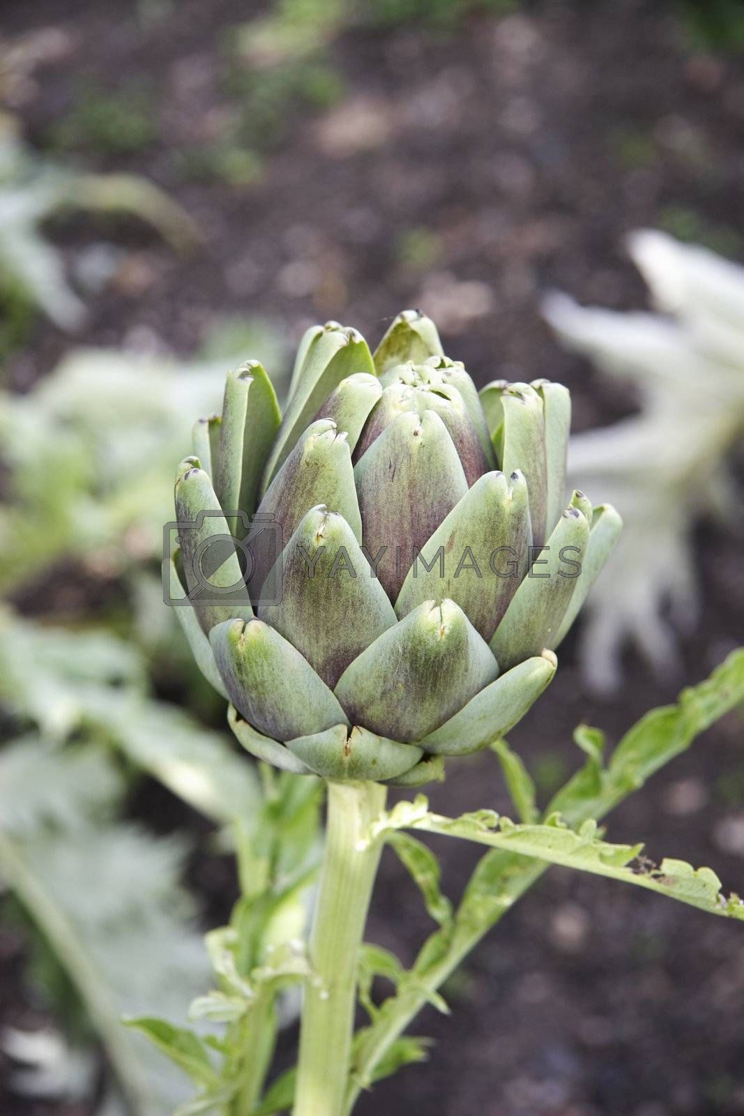 details of an artichoke growing in the garden against a grey background