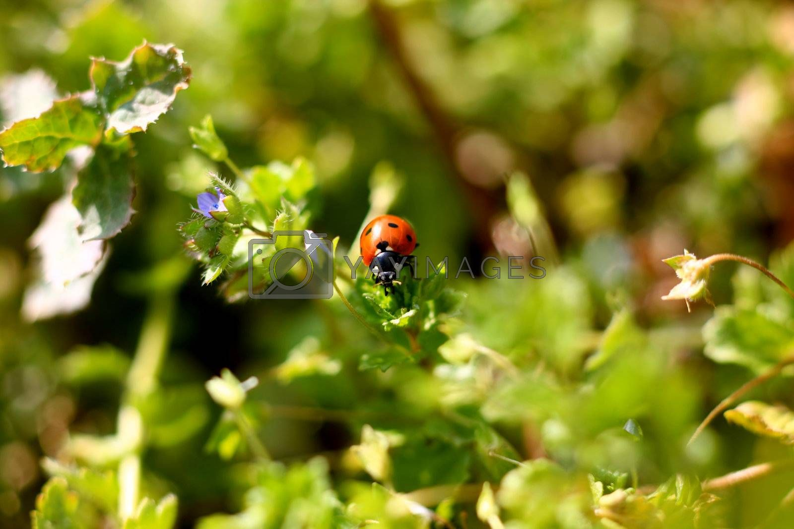 Royalty free image of Ladybug on a plant by monner