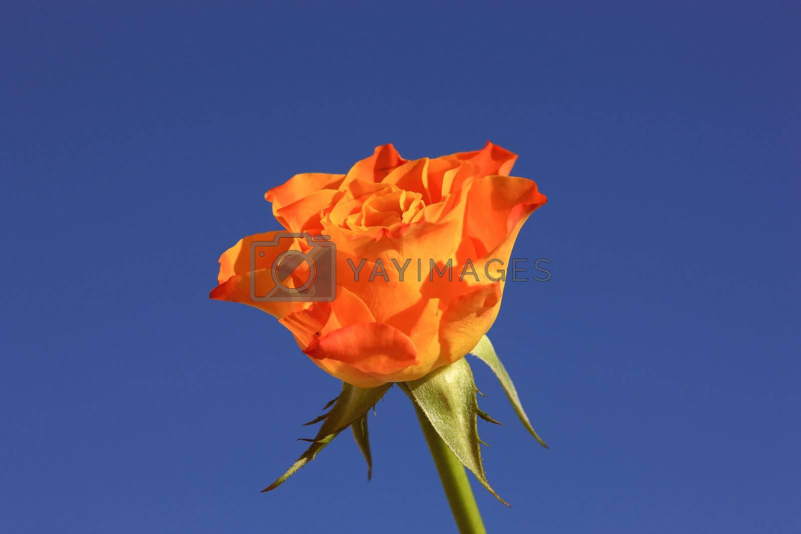 Royalty free image of Orange Rose by monner