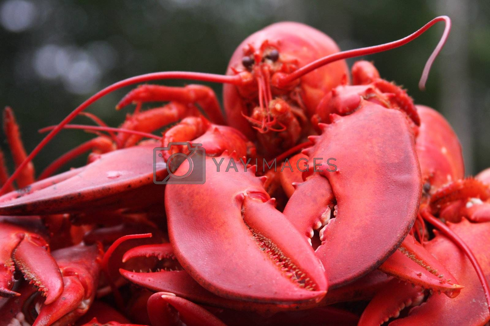 close up of lobster focus on claws
