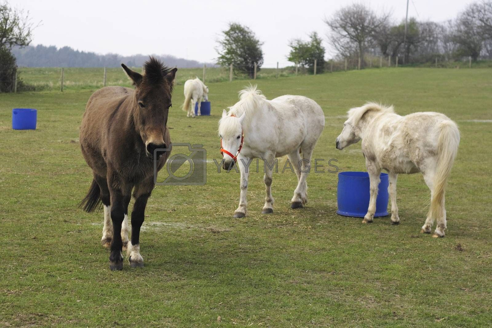 ponies and mule in a field eating from buckets