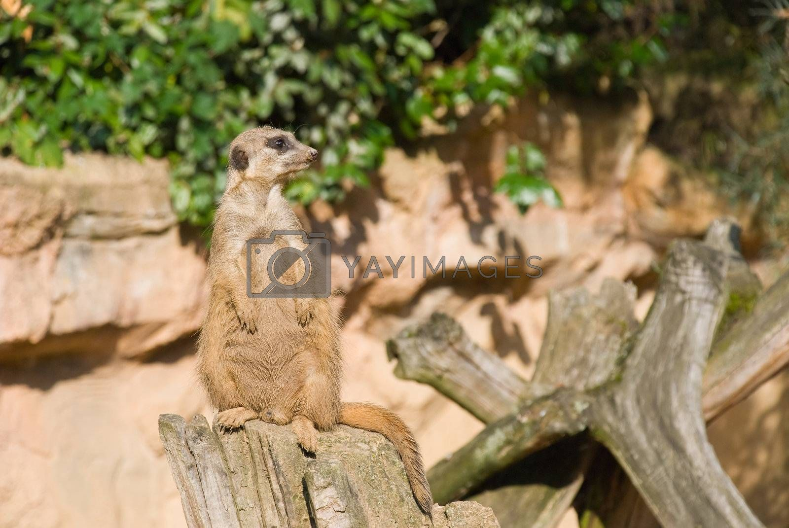Meerkat sits and looking to the right