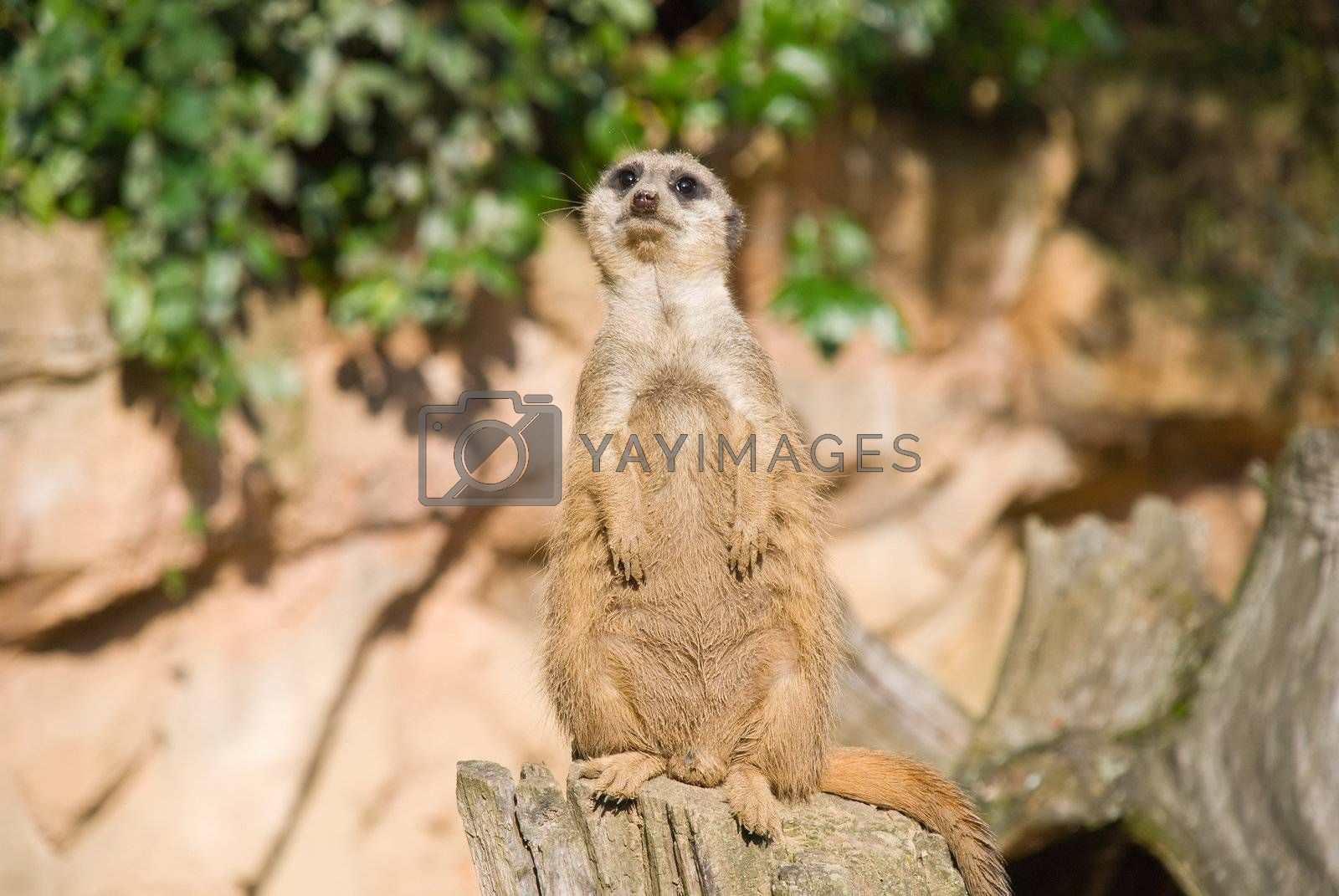 Meerkat sits and looking at the camera